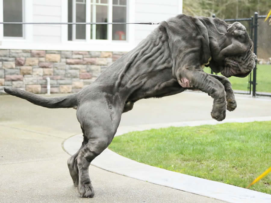 Temperament of the Neapolitan Mastiff